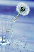 Pusteblume in einem Glas