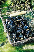 Basket of mussels (topic: mussels)
