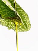 Olive oil dropping on a lettuce leaf