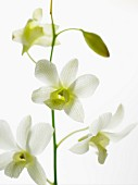 Vanilla flowers