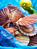 Raw scallops in their shells
