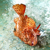 Raw scorpion fish