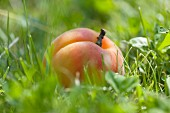 Apricot in the grass