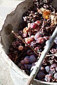 Rotten grapes gathered in a bucket