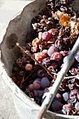 Vertrocknete Weintrauben in einem Eimer