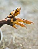 Guinea-fowl claws