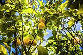 Lemons on the tree