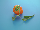 Orange bell pepper on a blue background