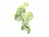 Kale cabbage leaf on a white background