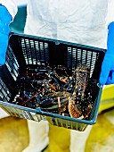 Person carrying a crate of freshly fished lobsters