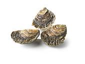 Drei frische Cancale-Austern