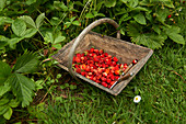 Basket of wild strawberries