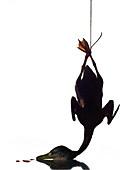 Ente aufgehängt zum Ausbluten