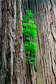 Sprouts of beech tree