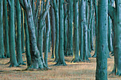 Tunks from beech trees in wood