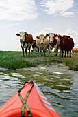 Cows standing on the waterside, Bodstedter Bodden, Fischland-Darss-Zingst Mecklenburg-Western Pomerania, Germany