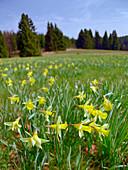 Field of duffodils, Wuestebachtal, Eifel, Germany