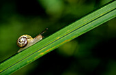 Snail on a blade of Gras, Outdoor, Baden-Wuerttemberg, Germany