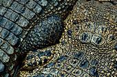 Krokodil Detail