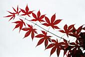 Red leaves from a Virginia Creeper, Parthenocissus quinquefolia, Vine, Nature