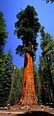 Giant tree, Sequoia Tree under blue sky, California, USA