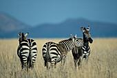 Zebras Equus burchelli