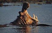 Hippopotamus with wide open mouth in water, Mammal, Africa