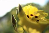 Korsische Blumen