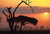 Trees agains sunset, Kenia, Africa