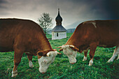 Two cows on meadow, Chiemgau, Upper Bavaria