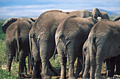 Rear view of a group of african elefants with young animal, Mammal, Africa