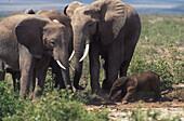 African elephants with newborn elephant, Family, Mammal, Africa