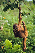 Orang Utan Baby climbing, Pongo pygmaeus, Rainforest, Gunung Leuser National Park, Sumatra, Indonesia, Asia