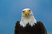 Bald Eagle Portrait, Haliaeetus leucocephalus, North America