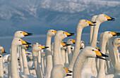 Singing swans, Hokkaido, Japan