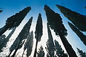 Backlit pines under blue sky, Tuscany, Italy