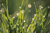 Blades of grass with drops of water, dew drops, Nature