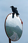 Raven sitting on a mirror at a street