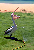 Pelican standing next to a lawn sprinkler, Shark Bay, Western Australia, Australia