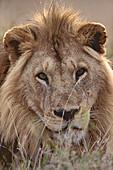 Close up of a lion, Mammal, Wild animal, Africa