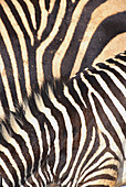 Close up of black and white stripes of a Zebra, Mammal, Wild animal, Africa