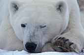 Polar bear, Ursus maritimus, Hudson Bay, Canada, North America, America