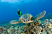 Green Turtle and Diver, Chelonia mydas, Hawaii, USA, Maui
