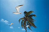 Tree birds are flying against the wind passing a palm, Florida, USA
