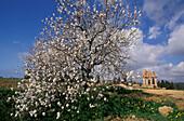 Almond tree-Temple of Dioskuren, Agrigento, Sicily Italy