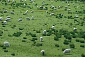 Schafherde bei Dunedin, Suedinsel Neuseeland