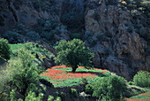 Poppy seed and tree near EL Espinillio, Roque Bentaiga, Gran Canaria, Canary Islands, Spain