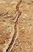 Close-up of the ant trail in Kenia, Mount Kenya, Kenya, Africa