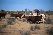 Sorting Cattles, Cattle Station, South Australia Australia