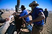Branding cattle, Cowarie Station, South Australia Australia